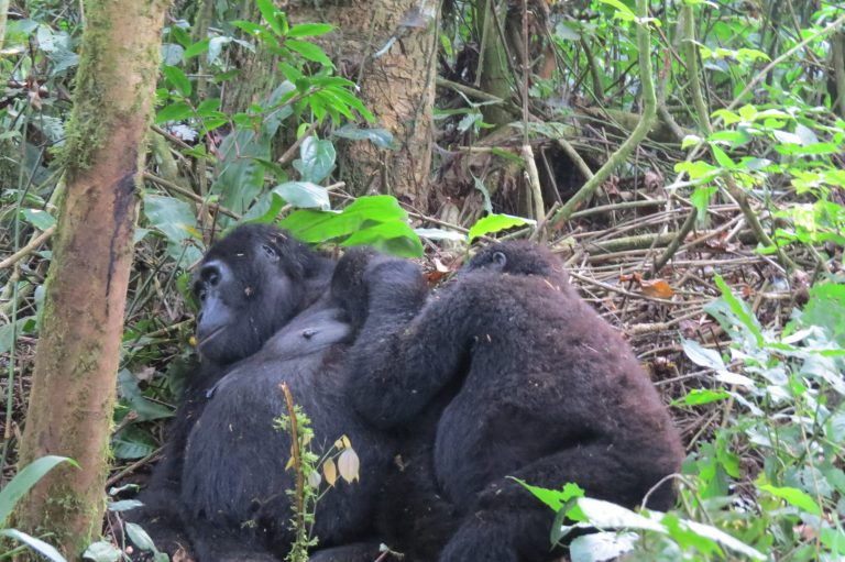 Mountain Gorilla Trips In Congo
