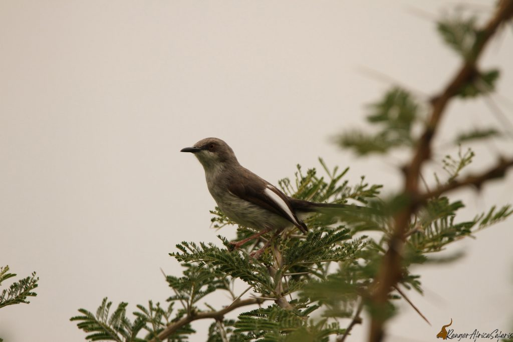 Karamoja Apalis - Bird Watching