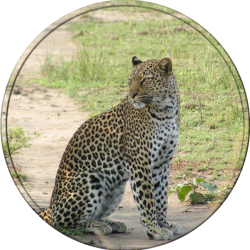 namibia's-best-leopard